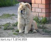 Собака породы чау-чау. Стоковое фото, фотограф Багира / Фотобанк Лори