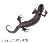 Тритон гребенчатый, Triturus cristatus. Стоковое фото, фотограф Василий Вишневский / Фотобанк Лори