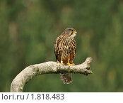 Купить «Новозеландский сокол (Falco novaezeelandiae)», фото № 1818483, снято 26 апреля 2010 г. (c) Кирина Елизавета / Фотобанк Лори