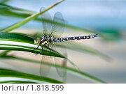 Купить «Стрекоза», фото № 1818599, снято 3 августа 2009 г. (c) Сурикова Ирина / Фотобанк Лори