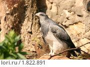 Купить «Хищная птица агуйя», фото № 1822891, снято 8 мая 2010 г. (c) Щеголева Ольга / Фотобанк Лори