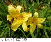 Желтый лилейник. Стоковое фото, фотограф Светлана Брындина / Фотобанк Лори