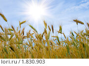 Купить «Пшеница», фото № 1830903, снято 8 июля 2010 г. (c) Елена Блохина / Фотобанк Лори