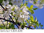 Ветка яблони. Стоковое фото, фотограф Струкова Светлана / Фотобанк Лори