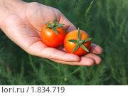 Купить «Два спелых помидора в руке», фото № 1834719, снято 12 июля 2010 г. (c) Сергей Девяткин / Фотобанк Лори