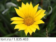 Адонис весенний. Стоковое фото, фотограф Максим Мельников / Фотобанк Лори