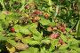 Спелая земляника в траве, эксклюзивное фото № 1835411, снято 12 июля 2010 г. (c) Александр Павлов / Фотобанк Лори
