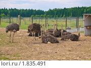 Купить «Африканские страусы», эксклюзивное фото № 1835491, снято 10 июля 2010 г. (c) Алёшина Оксана / Фотобанк Лори