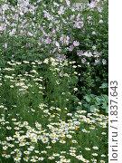 Ромашки и лиловые цветы. Стоковое фото, фотограф Валентин Никитин / Фотобанк Лори