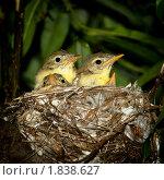 Купить «Гнездо. Пересмешка зеленая, Icterine Warbler», фото № 1838627, снято 21 июня 2010 г. (c) Василий Вишневский / Фотобанк Лори