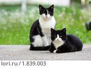 Купить «Кошки», фото № 1839003, снято 1 июля 2010 г. (c) Михаил Митин / Фотобанк Лори