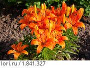 Лилии оранжевые. Стоковое фото, фотограф Катерина Макарова / Фотобанк Лори