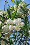 Цветущий белый олеандр, фото № 1844831, снято 19 июня 2010 г. (c) Константин Бредников / Фотобанк Лори