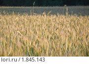 Купить «Рожь посевная (Secale cereale)», фото № 1845143, снято 5 июля 2010 г. (c) Алёшина Оксана / Фотобанк Лори