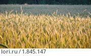 Купить «Рожь посевная (Secale cereale)», фото № 1845147, снято 5 июля 2010 г. (c) Алёшина Оксана / Фотобанк Лори