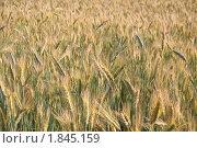 Купить «Рожь посевная (Secale cereale)», фото № 1845159, снято 5 июля 2010 г. (c) Алёшина Оксана / Фотобанк Лори
