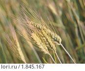 Купить «Рожь посевная (Secale cereale)», фото № 1845167, снято 5 июля 2010 г. (c) Алёшина Оксана / Фотобанк Лори