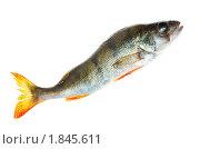 Купить «Окунь, European Perch (Perca fluviatilis)», фото № 1845611, снято 6 июня 2010 г. (c) Василий Вишневский / Фотобанк Лори