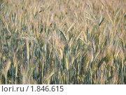 Купить «Рожь посевная  (Secale cereale)», фото № 1846615, снято 5 июля 2010 г. (c) Алёшина Оксана / Фотобанк Лори