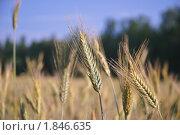 Купить «Рожь посевная  (Secale cereale)», фото № 1846635, снято 5 июля 2010 г. (c) Алёшина Оксана / Фотобанк Лори