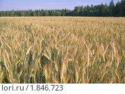 Купить «Поле посевной ржи  (Secale cereale)», фото № 1846723, снято 5 июля 2010 г. (c) Алёшина Оксана / Фотобанк Лори