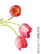 Купить «Тюльпан», фото № 1848015, снято 15 мая 2010 г. (c) Василий Вишневский / Фотобанк Лори