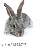 Купить «Кролик домашний», фото № 1853747, снято 6 мая 2010 г. (c) Василий Вишневский / Фотобанк Лори
