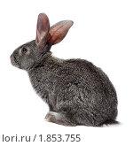 Купить «Кролик домашний», фото № 1853755, снято 6 мая 2010 г. (c) Василий Вишневский / Фотобанк Лори
