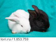 Купить «Кролики домашние», фото № 1853759, снято 19 мая 2010 г. (c) Василий Вишневский / Фотобанк Лори
