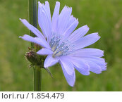 Голубой цветок цикория. Стоковое фото, фотограф Oksana Boborykina / Фотобанк Лори