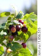 Купить «Зреющие ягоды черной смородины на ветке», фото № 1856515, снято 20 июля 2010 г. (c) Катерина Макарова / Фотобанк Лори