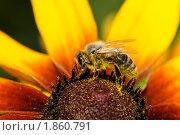 Пчелка. Стоковое фото, фотограф Петр Крупенников / Фотобанк Лори