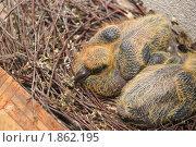 Купить «Птенец голубя», эксклюзивное фото № 1862195, снято 24 июля 2010 г. (c) Алёшина Оксана / Фотобанк Лори