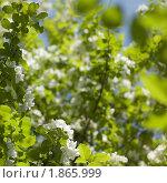 Цветущая яблоня. Малая глубина резкости. Стоковое фото, фотограф Надежда Щур / Фотобанк Лори