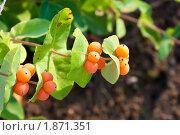 Купить «Спелые плоды жимолости каприфоль», фото № 1871351, снято 25 июля 2010 г. (c) Катерина Макарова / Фотобанк Лори