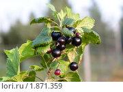 Купить «Спелые ягоды черной смородины на ветке», фото № 1871359, снято 25 июля 2010 г. (c) Катерина Макарова / Фотобанк Лори