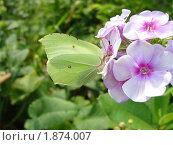Бабочка на цветке. Стоковое фото, фотограф Сизов Евгений / Фотобанк Лори