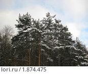 Сосна в снегу. Стоковое фото, фотограф Татьяна Гомонова / Фотобанк Лори
