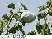Купить «Подсолнух обернутый в белую ткань - крупно на фоне неба», фото № 1879527, снято 19 ноября 2018 г. (c) Виктор Савушкин / Фотобанк Лори