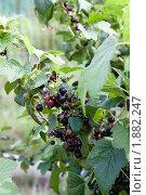 Купить «Черная смородина», фото № 1882247, снято 1 августа 2010 г. (c) Катерина Макарова / Фотобанк Лори