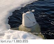 Купить «Кит белуха, Delphinapterus leucas», фото № 1883855, снято 5 апреля 2009 г. (c) Некрасов Андрей / Фотобанк Лори