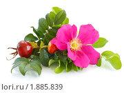 Купить «Цветок и плоды шиповника», фото № 1885839, снято 26 мая 2010 г. (c) Peredniankina / Фотобанк Лори
