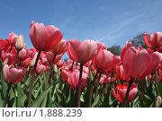 Тюльпаны. Стоковое фото, фотограф Елена Снопова / Фотобанк Лори