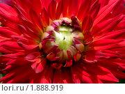 Купить «Георгина», эксклюзивное фото № 1888919, снято 3 августа 2010 г. (c) Александр Алексеев / Фотобанк Лори