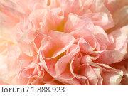 Купить «Шток-роза (Alcea rosea)», эксклюзивное фото № 1888923, снято 3 августа 2010 г. (c) Александр Алексеев / Фотобанк Лори