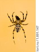 Купить «Паук», фото № 1891147, снято 8 августа 2010 г. (c) Egorius / Фотобанк Лори