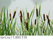 Купить «Рогоз широколистный, Typha latifolia», фото № 1893119, снято 31 июля 2010 г. (c) Василий Вишневский / Фотобанк Лори