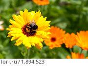 Купить «Шмель на цветке календулы», фото № 1894523, снято 6 августа 2010 г. (c) Катерина Макарова / Фотобанк Лори
