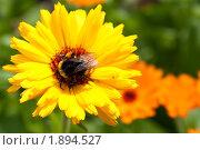 Купить «Шмель на цветке календулы», фото № 1894527, снято 6 августа 2010 г. (c) Катерина Макарова / Фотобанк Лори