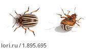 Купить «Обычный колорадский жук, живой и дохлый, изолировано на белом фоне», фото № 1895695, снято 19 июня 2010 г. (c) pzAxe / Фотобанк Лори